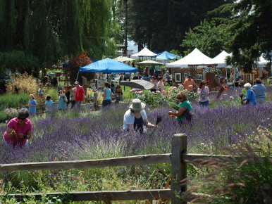 Upick_Lavender_Fest PHOTO CREDIT Heather Anderson