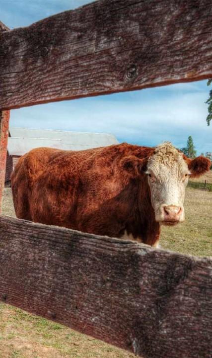 Cow - farm