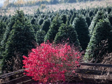Holiday Trees 1