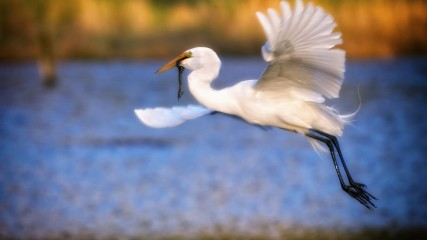 White Egret Birding