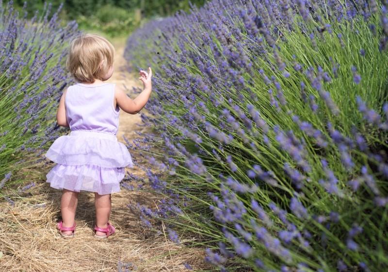 Sunset Corridor Lavender Festival