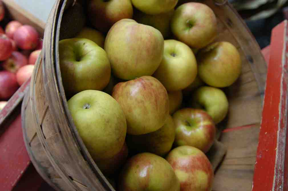 Apple picking near Portland Oregon